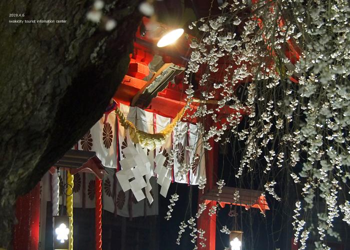 《いわき市桜情報2019》夜桜見物に出かけませんか♪ 小川諏訪神社「しだれ桜ライトアップ」開催中です! [平成31年4月5日(金)更新]29