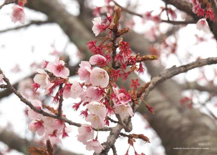 《いわき市桜情報2019》国宝白水阿弥陀堂参道のヒガンザクラ [平成31年3月18日(金)更新]3