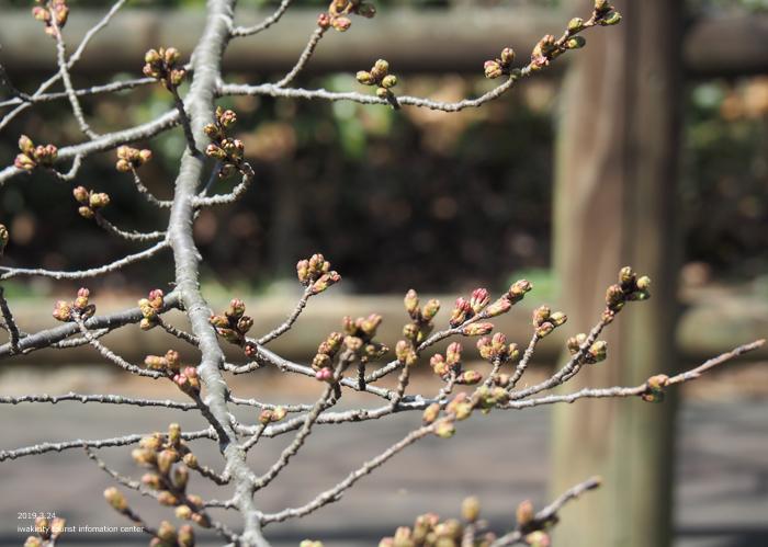 《いわき市桜情報2019》松ヶ岡公園のソメイヨシノ「蕾膨らむ」 [平成31年3月24日(日)更新]3