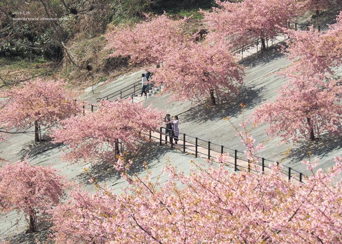 《いわき市桜情報2019》21世紀の森公園の河津桜が見頃を迎えています! [平成31年3月25日(月)更新]3