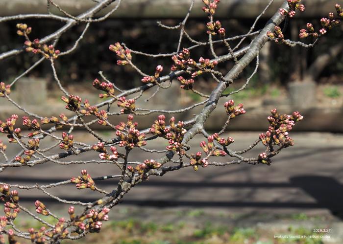 《いわき市桜情報2019》松ヶ岡公園のソメイヨシノが開花しました! [平成31年3月27日(水)更新]3