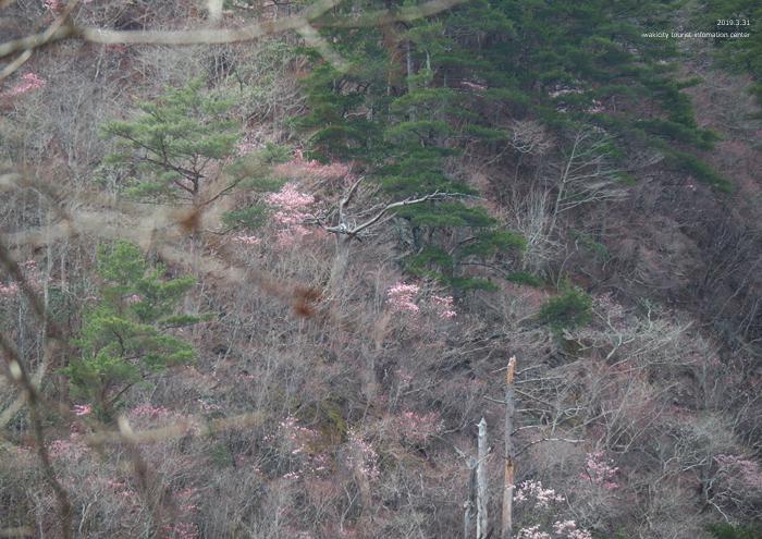 夏井川渓谷のアカヤシオが開花しました! [平成31年4月1日(月)更新]3