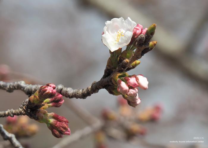 《いわき市桜情報2019》大畑公園のソメイヨシノ(開花) [平成31年4月1日(月)更新]3