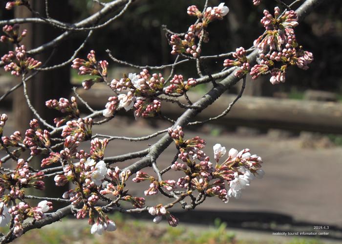 《いわき市桜情報2019》松ヶ岡公園のソメイヨシノ(2分咲き) [平成31年4月3日(水)更新]3