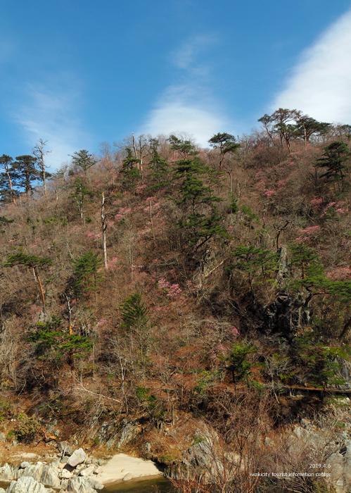 夏井川渓谷のアカヤシオ 春の陽射しを浴び見頃を迎えております! [平成31年4月6日(土)更新]3