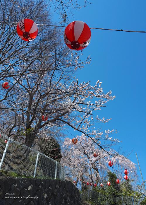 《いわき市桜情報2019》御幸山公園がほぼ満開となり見頃を迎えています! [平成31年4月7日(日)更新]3