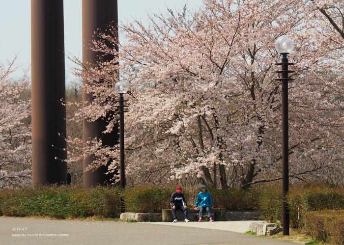 《いわき市桜情報2019》21世紀の森公園のソメイヨシノが見頃となりました! [平成31年4月7日(日)更新]3