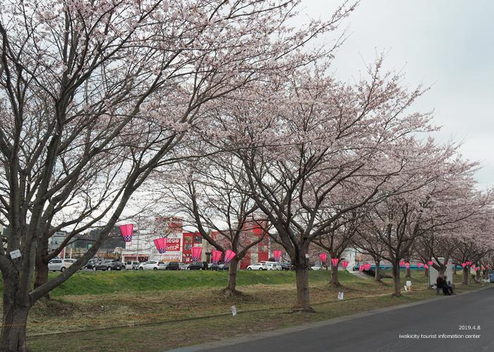《いわき市桜情報2019》鹿島千本桜がほぼ満開となっています! [平成31年4月8日(日)更新]3
