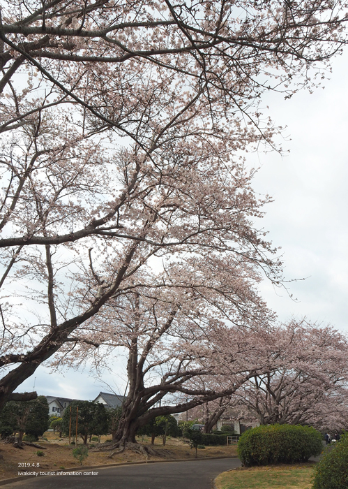 《いわき市桜情報2019》大畑公園のソメイヨシノが満開となりました! [平成31年4月8日(日)更新]3