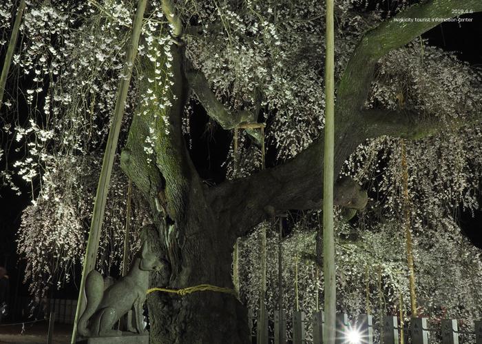 《いわき市桜情報2019》夜桜見物に出かけませんか♪ 小川諏訪神社「しだれ桜ライトアップ」開催中です! [平成31年4月5日(金)更新]31
