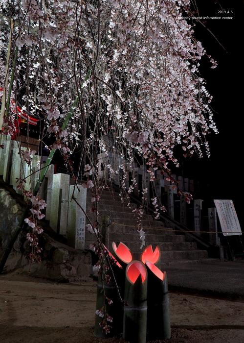《いわき市桜情報2019》夜桜見物に出かけませんか♪ 小川諏訪神社「しだれ桜ライトアップ」開催中です! [平成31年4月5日(金)更新]34