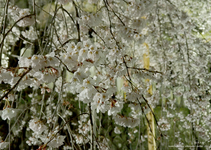 《いわき市桜情報2019》夜桜見物に出かけませんか♪ 小川諏訪神社「しだれ桜ライトアップ」開催中です! [平成31年4月5日(金)更新]35