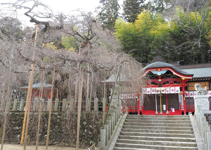 《いわき市桜情報2019》小川諏訪神社のシダレザクラ 蕾が膨らみ始めています! [平成31年3月18日(金)更新]4