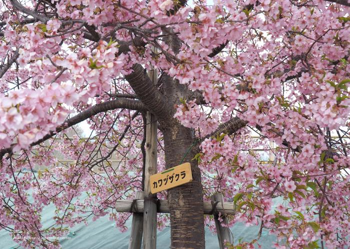 《いわき市桜情報2019》21世紀の森公園の河津桜が見頃を迎えています! [平成31年3月25日(月)更新]4