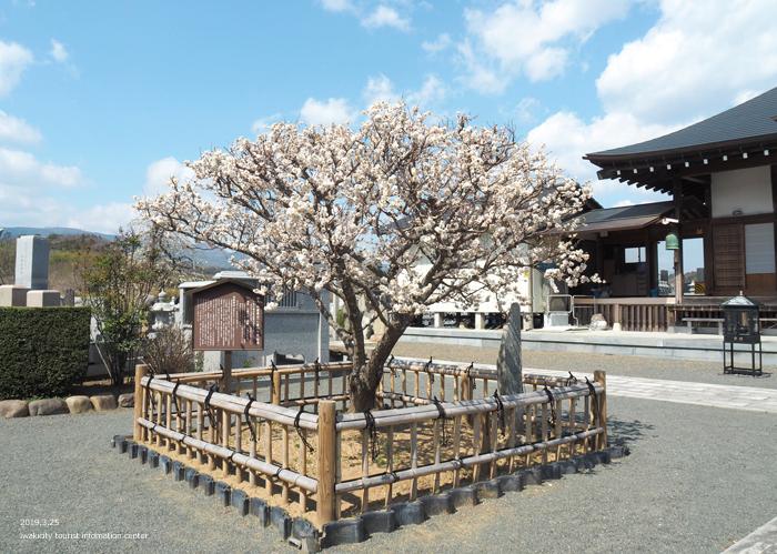 常勝院岩城寺の「八房の梅」が満開です! [平成31年3月25日(月)更新]4