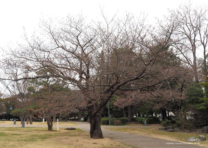 《いわき市桜情報2019》平中央公園&新川沿いのソメイヨシノが開花しました! [平成31年3月29日(金)更新]4