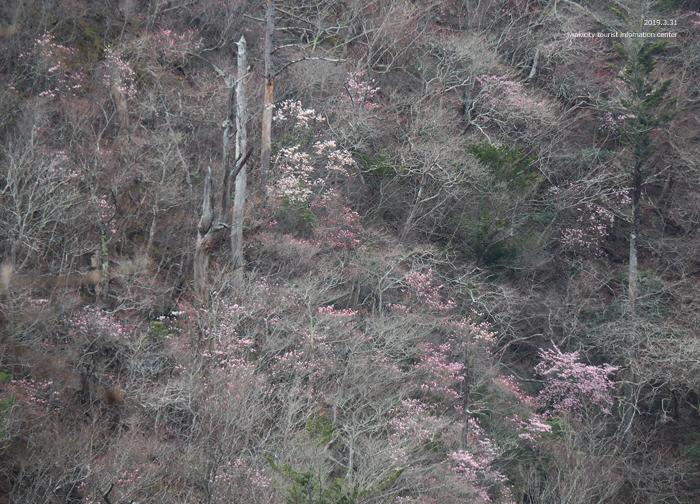 夏井川渓谷のアカヤシオが開花しました! [平成31年4月1日(月)更新]4