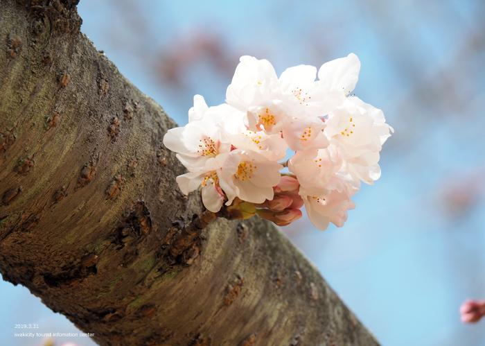 《いわき市桜情報2019》大畑公園のソメイヨシノ(開花) [平成31年4月1日(月)更新]4