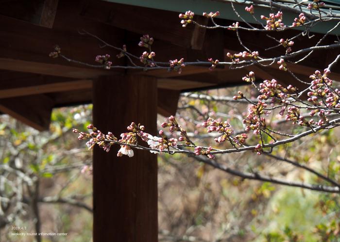 《いわき市桜情報2019》松ヶ岡公園のソメイヨシノ(2分咲き) [平成31年4月3日(水)更新]4