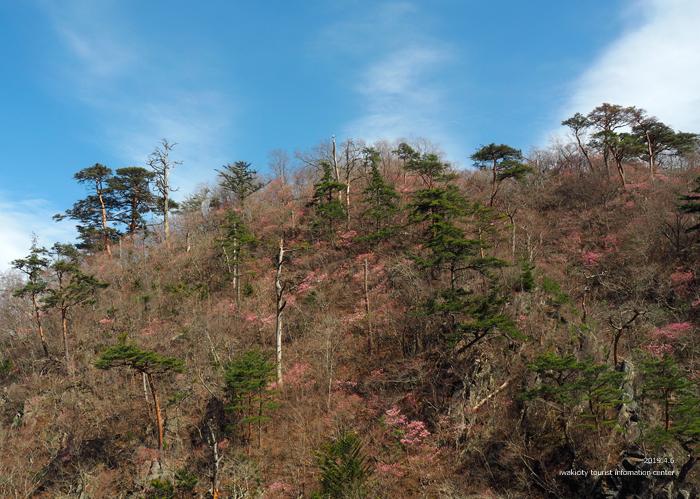 夏井川渓谷のアカヤシオ 春の陽射しを浴び見頃を迎えております! [平成31年4月6日(土)更新]4