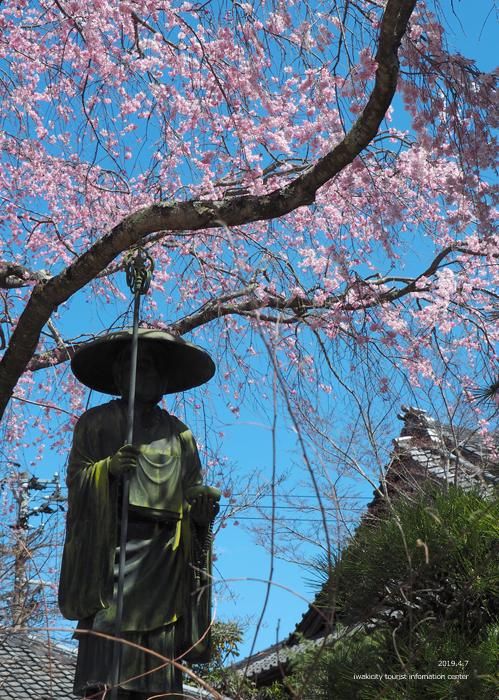 《いわき市桜情報2019》勝行院のシダレザクラが満開です! [平成31年4月7日(日)更新]4
