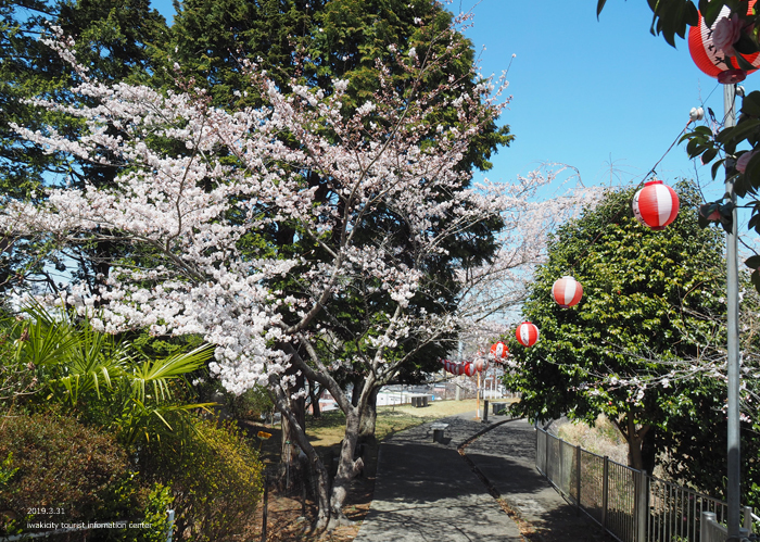 《いわき市桜情報2019》御幸山公園がほぼ満開となり見頃を迎えています! [平成31年4月7日(日)更新]4
