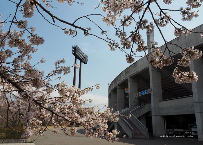 《いわき市桜情報2019》21世紀の森公園のソメイヨシノが見頃となりました! [平成31年4月7日(日)更新]4