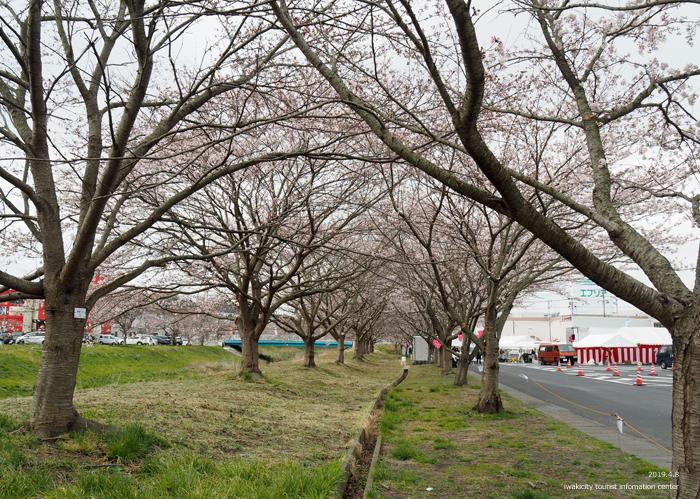 《いわき市桜情報2019》鹿島千本桜がほぼ満開となっています! [平成31年4月8日(日)更新]4