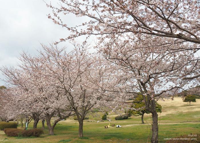 《いわき市桜情報2019》三崎公園でお花見を楽しましょう♪ [平成31年4月8日(日)更新]4