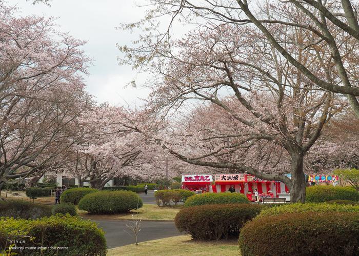 《いわき市桜情報2019》大畑公園のソメイヨシノが満開となりました! [平成31年4月8日(日)更新]4
