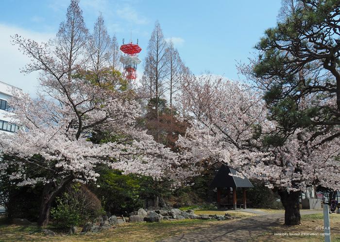 《いわき市桜情報2019》平中央公園で満開の桜を楽しみましょう♪ [平成31年4月8日(月)更新]4