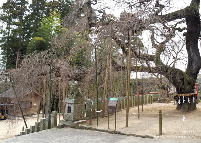 《いわき市桜情報2019》小川諏訪神社のシダレザクラ 蕾が膨らみ始めています! [平成31年3月18日(金)更新]5