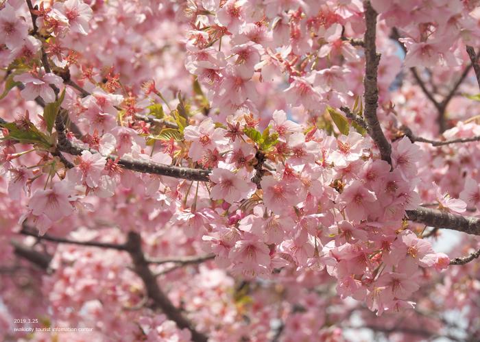 《いわき市桜情報2019》21世紀の森公園の河津桜が見頃を迎えています! [平成31年3月25日(月)更新]5