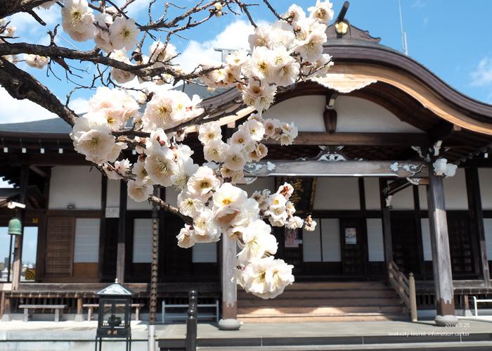常勝院岩城寺の「八房の梅」が満開です! [平成31年3月25日(月)更新]5