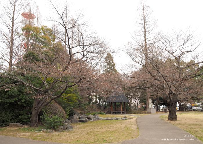 《いわき市桜情報2019》平中央公園&新川沿いのソメイヨシノが開花しました! [平成31年3月29日(金)更新]5