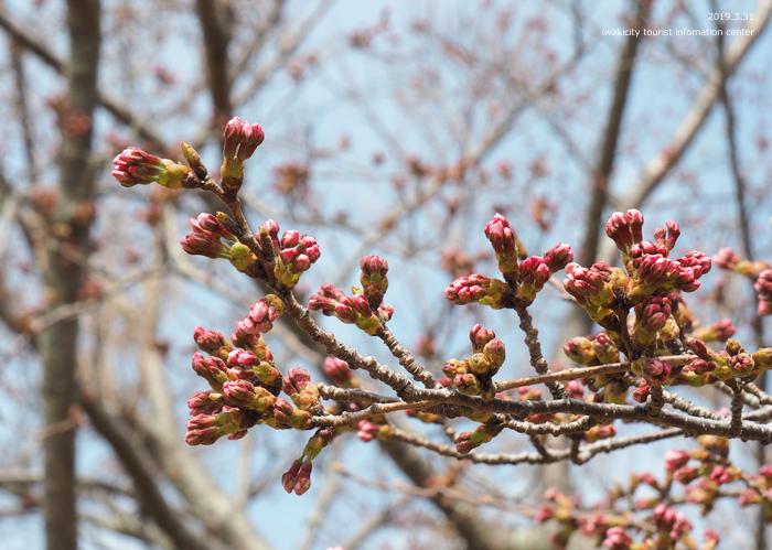 《いわき市桜情報2019》三崎公園のソメイヨシノ(咲き始め) [平成31年4月1日(月)更新]5