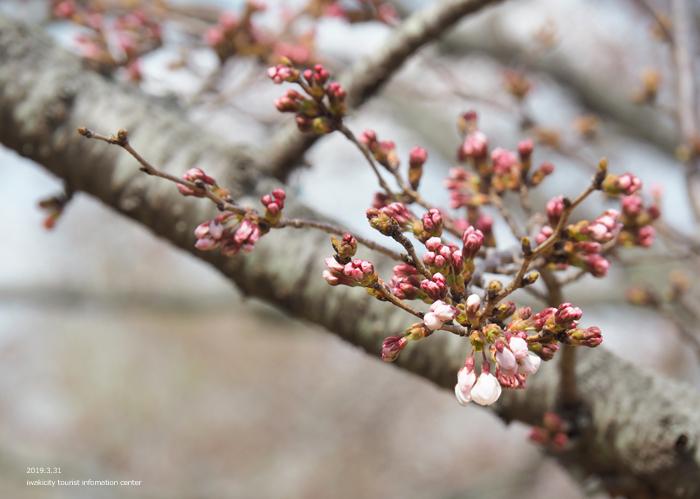 《いわき市桜情報2019》大畑公園のソメイヨシノ(開花) [平成31年4月1日(月)更新]5