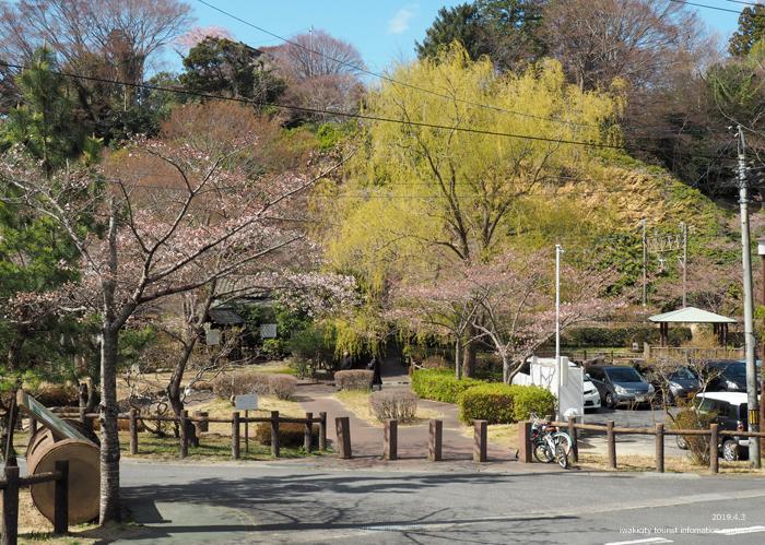《いわき市桜情報2019》松ヶ岡公園のソメイヨシノ(2分咲き) [平成31年4月3日(水)更新]5