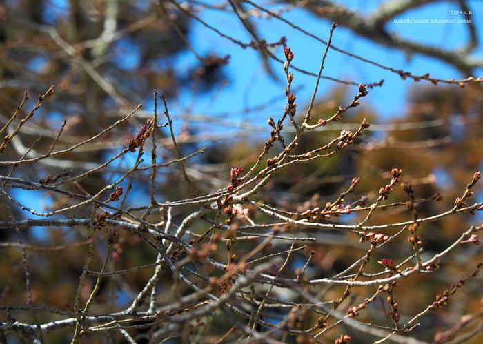 《いわき市桜情報2019》下三坂の種まきザクラが開花までもう間もなくです! [平成30年4月8日(日)更新]5