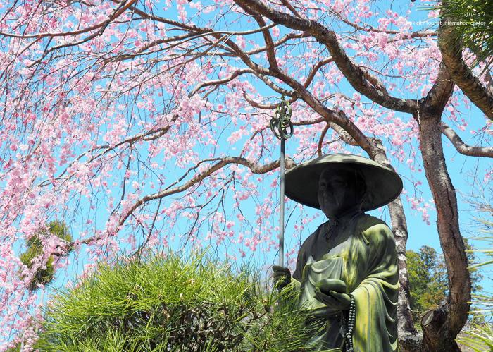 《いわき市桜情報2019》勝行院のシダレザクラが満開です! [平成31年4月7日(日)更新]5