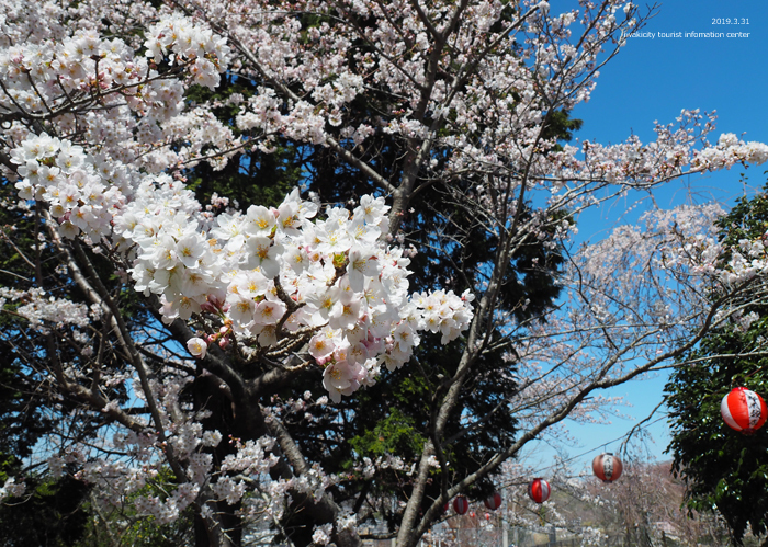 《いわき市桜情報2019》御幸山公園がほぼ満開となり見頃を迎えています! [平成31年4月7日(日)更新]5