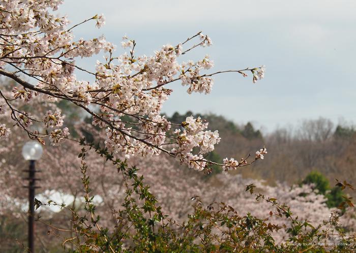 《いわき市桜情報2019》21世紀の森公園のソメイヨシノが見頃となりました! [平成31年4月7日(日)更新]5