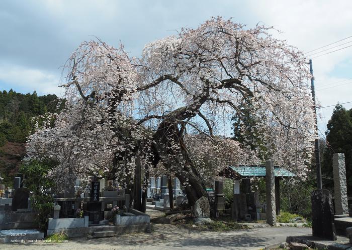 《いわき市桜情報2019》大運寺のシダレザクラが見頃! [平成31年4月7日(日)更新]5