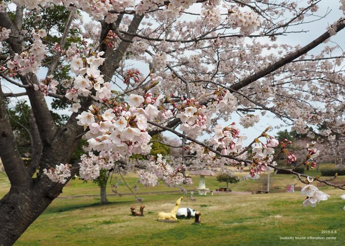 《いわき市桜情報2019》三崎公園でお花見を楽しましょう♪ [平成31年4月8日(日)更新]5
