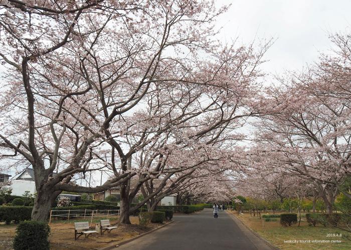 《いわき市桜情報2019》大畑公園のソメイヨシノが満開となりました! [平成31年4月8日(日)更新]5