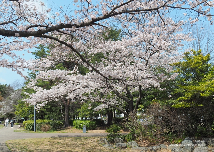 《いわき市桜情報2019》平中央公園で満開の桜を楽しみましょう♪ [平成31年4月8日(月)更新]5