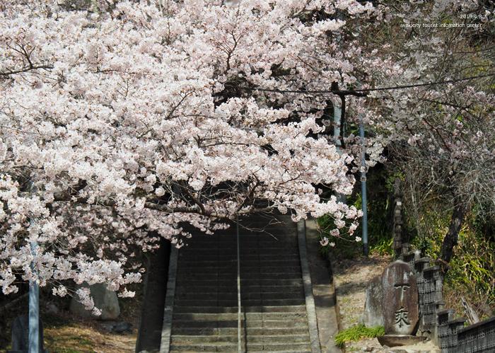 《いわき市桜情報2019》薬王寺参道のソメイヨシノ [平成31年4月8日(月)更新]5