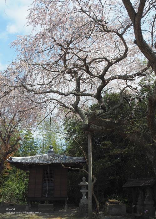 《いわき市桜情報2019》平幕ノ内 稲荷神社のシダレザクラ [平成31年4月8日(月)更新]5