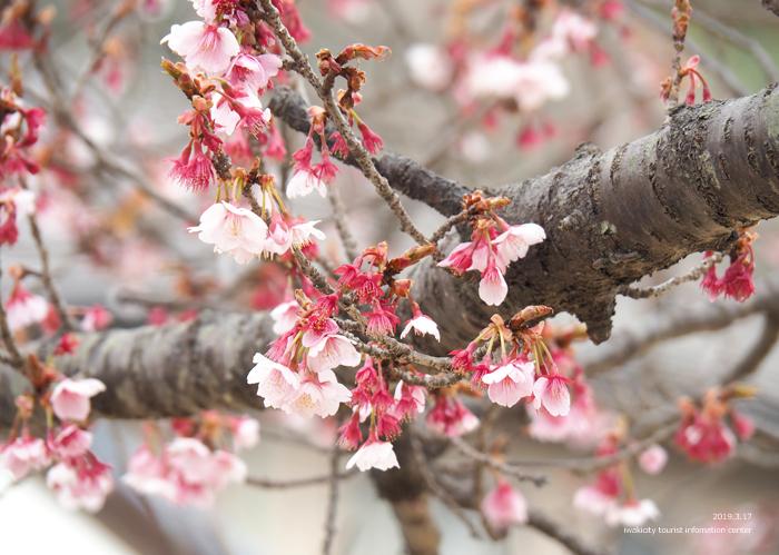 《いわき市桜情報2019》国宝白水阿弥陀堂参道のヒガンザクラ [平成31年3月18日(金)更新]6