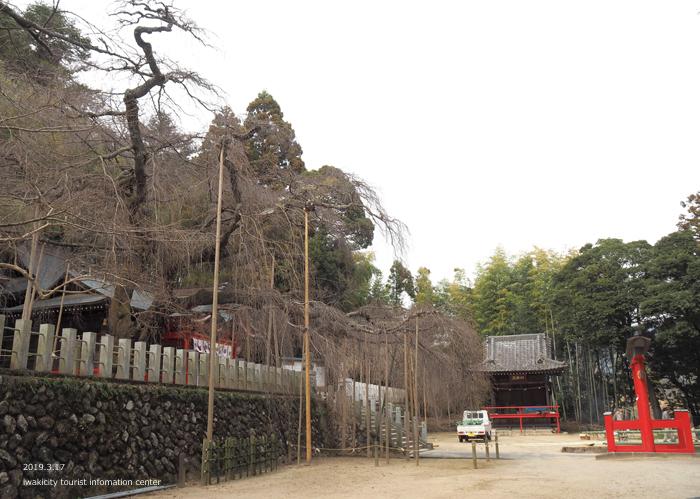 《いわき市桜情報2019》小川諏訪神社のシダレザクラ 蕾が膨らみ始めています! [平成31年3月18日(金)更新]6